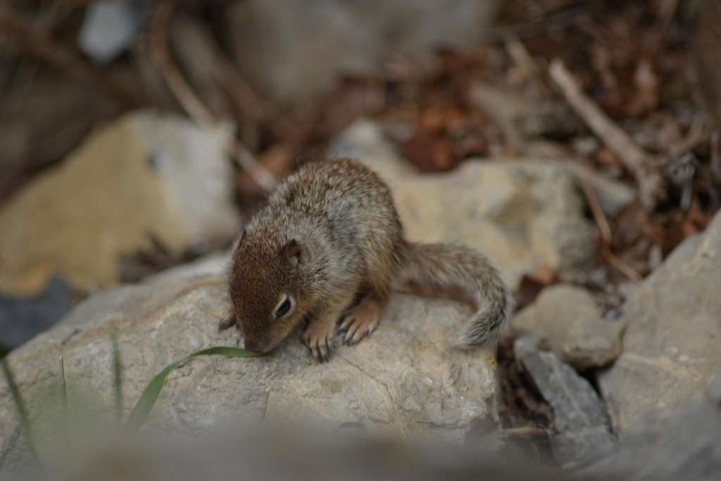 a baby chipmunk sitting on a rock