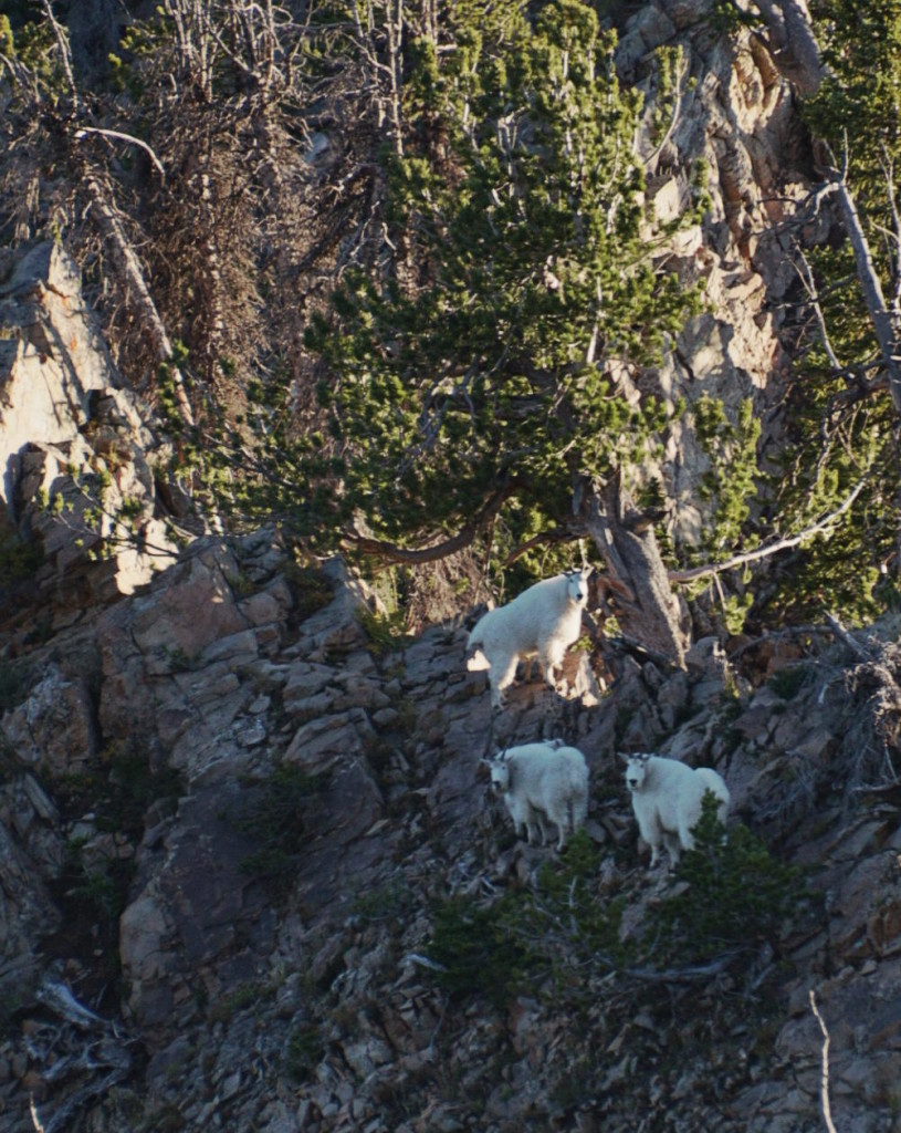 Mountain goats on Freedom Peak